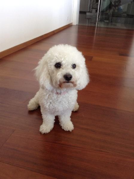 Elevage du rosier blanc eleveur de chiens chiots bichon for Salon chiot nancy